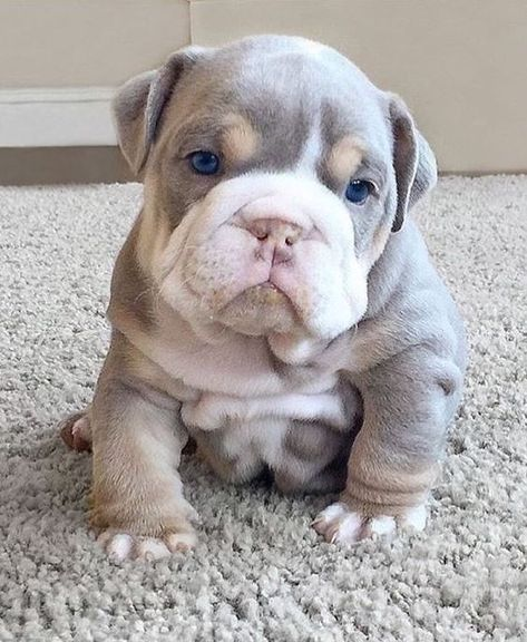 The major breeds of bulldogs are English bulldog, American bulldog, and French bulldog. The bulldog has a broad shoulder which matches with the head. Cute Bulldog Puppies, Super Cute Puppies, Baby Bulldogs, Cute Bulldogs, English Bulldog Puppies, Cute Little Puppies, Cute Little Animals, Cute Dogs And Puppies, Baby Puppies