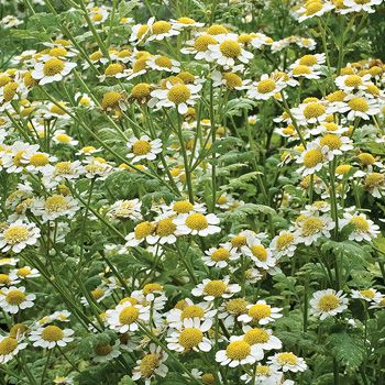 Feverfew Rose Companion Plants Feverfew Perennials