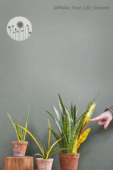 Dlaczego Sansewieria Zolknie Wiednie Brazowieje Jak Dbac Pielegnowac Uprawiac Plants