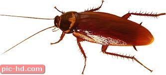 صور الصرصور معلومات عن الصرصور وطرق القضاء عليه Pest Control Pest Control Services Garden Animals