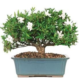 Brussel S Bonsai 10 In White Gardenia Large In Clay Planter Dt6022gr Lowes Com Outdoor Bonsai Tree Bonsai Trees For Sale Bonsai Tree Care