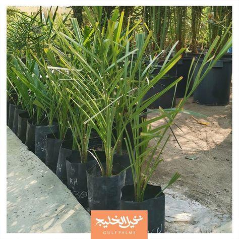 Potted Palms نخيل في أحواض وفرنا لكم نخيل البرحي والخلاص بأحواض مزروعة بعناية في مزارعنا في الوفرة والعبدلي وكما عودناكم ديوانية نخيل الخليج مفتوحة لتذ Plants