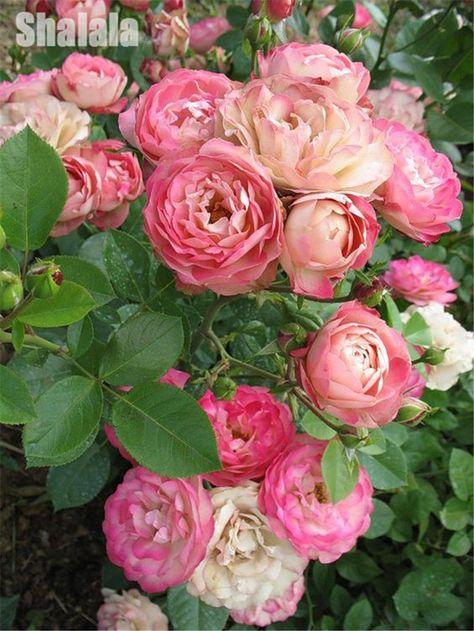 Flower Planters 100pcs Seeds Big Rose Seeds Beautiful Bonsai Plants Garden Decor | eBay