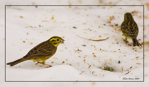 Yellowhammers Feeding in the Snow