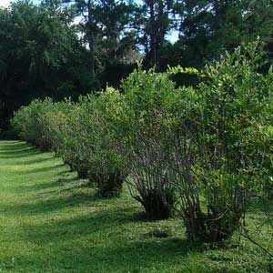 Using Blueberry Bushes In The Landscape As Edible Plants And Ornamental  Shrubs. | Garden | Pinterest | Blueberry Bushes, Shrub And Blueberry