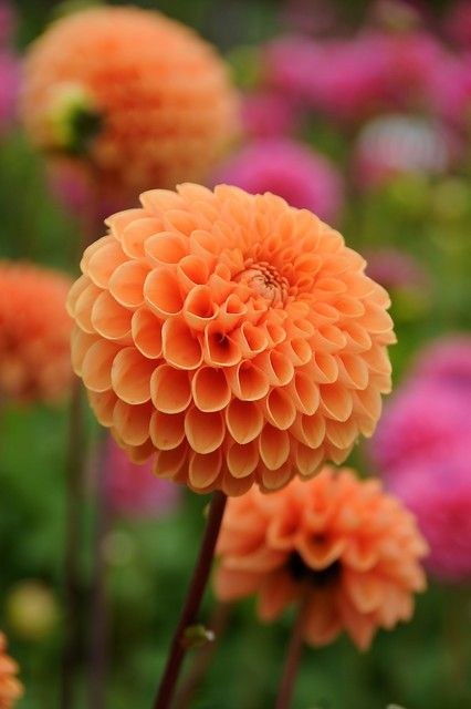 Dahlia Sylvia Fruit Garden Layout Dahlias Garden Beautiful Flowers