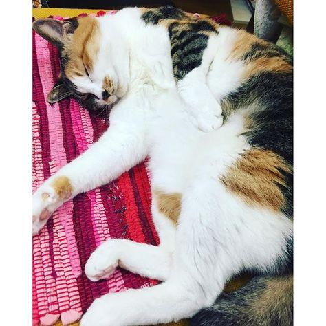 まどろむミーさんの ぽんぽこタヌキっぷりが セクシー╰(*´︶`*)╯♡ #猫 #ねこ #cat #三毛猫 #たぬき #もふもふ #もと  #もとc fukudamotoko 2016/09/24 20:20:57