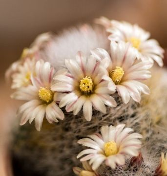 20 Copiapoa tenuissima SEMI SEEDS KORN SAMEN SEMILLAS rare specie rare seeds