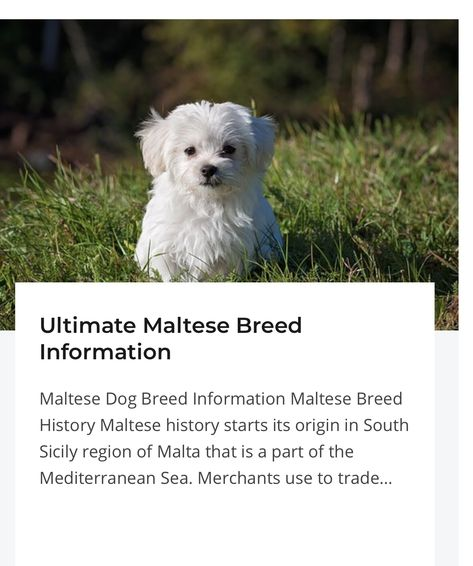 Ultimate Maltese Breed Information Maltese Breed Maltese Dog
