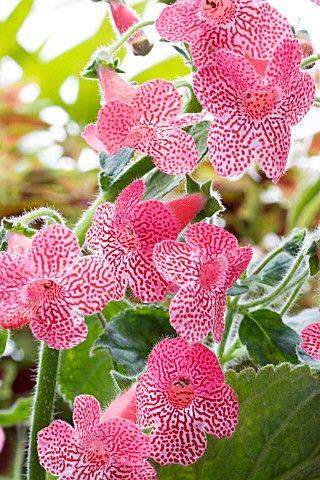 Kohleria 'Sunsine' orchids