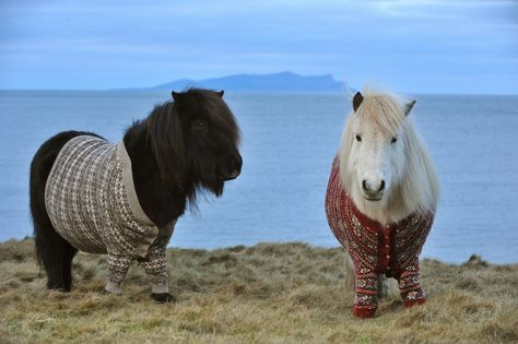 5171d661f1 Pony sweaters  All the rage in the Shetland Islands  Photo ...
