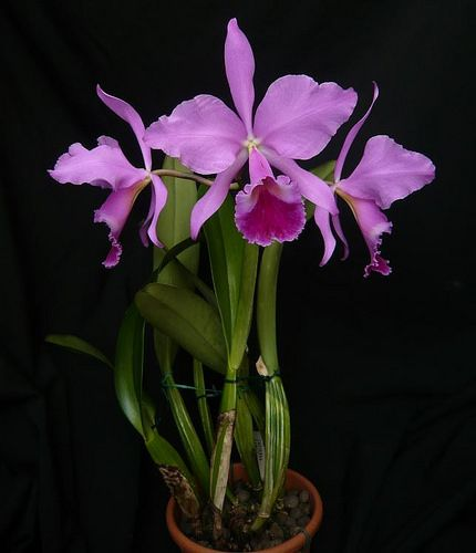 Cattleya Labiata Par Frederic Orchid Flower Rare Flowers Cattleya