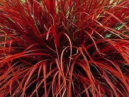 or 2000 seeds Red SEDGE GRASS Firedance Uncinia rubra evergreen  20 200