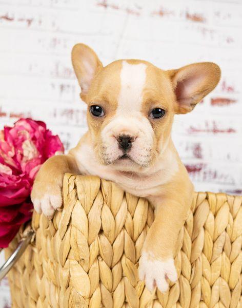 Bulldog Dogsofinstagram Dog Frenchie Dogs Bulldogsofinstagram Frenchbulldog Puppy Englishbulldog Bully French Bulldog Puppies Pet Camera Puppies