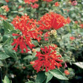 Common Name Bovardia Firecracker Bush Trompetilla Latin Name Bouvardia Ternifolia Hummingbird Flowers Flowers Desert Flowers