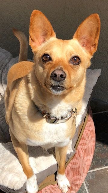 Adopt Maaya On Chihuahua Love Corgi Chihuahua Mix Rescue Dogs