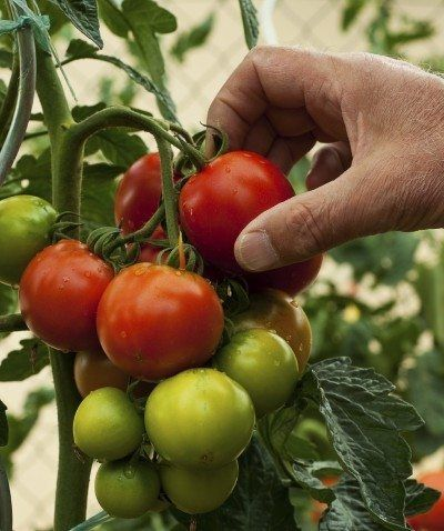 Harvest Time For Tomatoes When To Pick