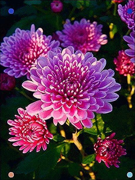 Pin By Lillian Greenholt On Bunga Aster Mums Flowers Pretty Flowers Aster Flower