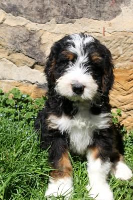 Bernedoodle Puppies For Sale Lancaster Puppies Bernedoodle Puppy Bernedoodle Puppies For Sale