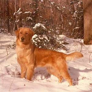 History Of The Golden Retriever Breed Aol Image Search Results