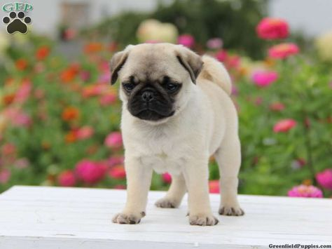 Oscar Miniature Pug Puppy For Sale From Morgantown Pa