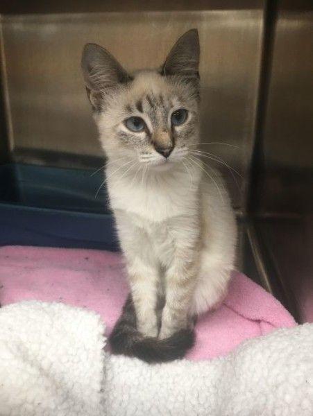 Olivia Siamese Cat For Adoption In Monticello Illinois Cat