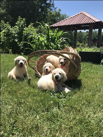 Litter Of 9 Golden Retriever Puppies For Sale In Vernon Nj Adn 34769 On Puppyfinder Com Gender Male S And Puppies For Sale Puppies Golden Retriever Litter