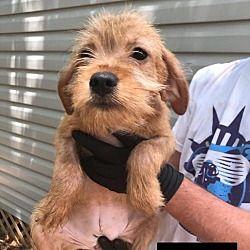 New York New York Terrier Unknown Type Medium Meet Roxette A For Adoption Https Www Adoptapet Com Pet 25696205 New York York Terrier Pets Dog Rocks