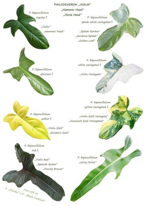 67 Ideas De Philodendrom Filodendro Plantas Plantas Jardin