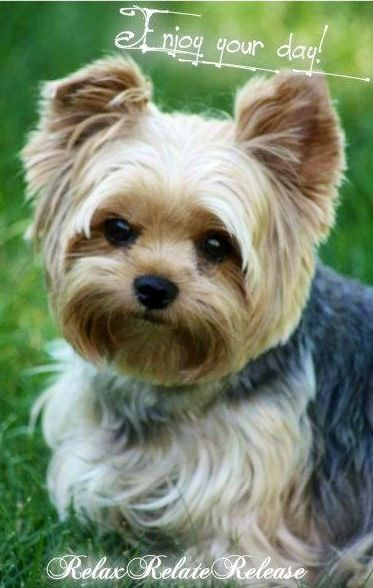 """Enjoy your day!"" Yorkie via www.Facebook.com/RelaxRelateRelease"