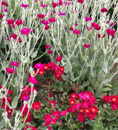 Rose Campion Seeds, Lychnis coronaria, Heirloom Seeds, Cottage Style Garden Favorite, Great Drought