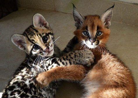 Best Amitiés Inattendues Images On Pinterest Searching Cat - Owlet kitten meet coffee shop become best friends