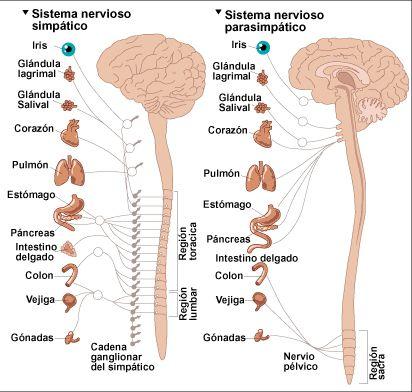 para fortalecer el sistema nervioso