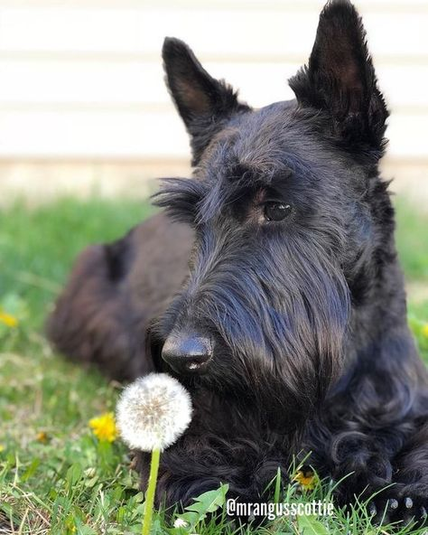 Scottie Dogs Are Ready For Spring Too