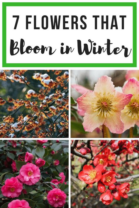 7 Colorful Flowers that Bloom in Winter Looking to add some color to your drab winter garden? These 7 colorful plants and flowers bloom in winter and bring life to your slumbering garden! 7 Colorful Flowers that Bloom in Winter Diy Garden, Garden Projects, Garden Plants, Garden Landscaping, Garden Trees, Colorful Plants, Colorful Flowers, Beautiful Flowers, Colorful Garden