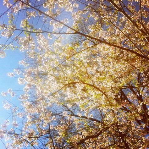 Cherry blossoms, #maryland , april, 2013
