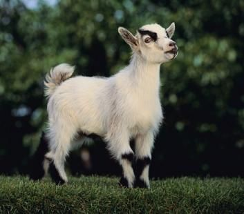 Pygmy Goat Breeds |     pygmy goats are small in size as