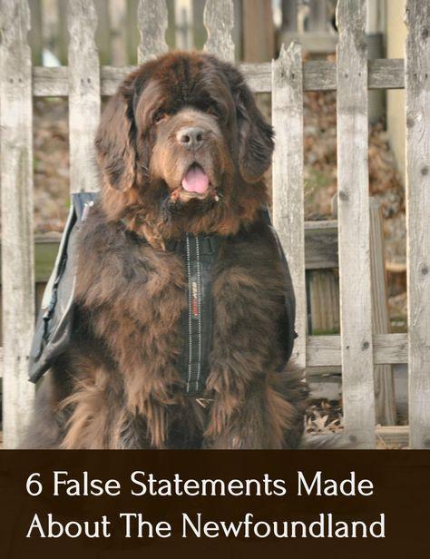 Newfoundland Dogs Facts Newfoundland Facts Neufundlander Hunde Fakten Faits Sur Les Chiens De Terre Neuve In 2020 Dog Facts Newfoundland Puppies Newfoundland Dog