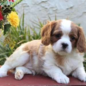 Dax Greenfield Puppies In 2020 Spaniel Puppies For Sale King Charles Cavalier Spaniel Puppy Greenfield Puppies
