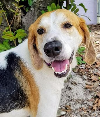 Fort Myers Fl Hound Unknown Type Meet Buddy Boy A Dog For
