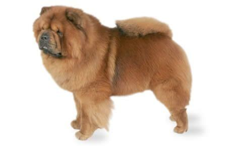 Chow Chow Dog Breed Information Pictures Characteristics Facts