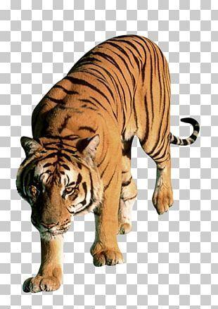 Download Tiger Png In 2021 Tiger Images Tiger Png
