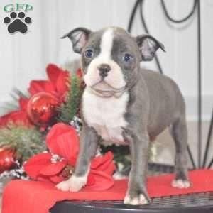 Brody Boston Terrier Puppy For Sale In Ohio Boston Terrier Dog