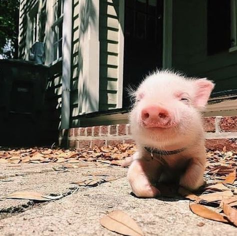 Cute Baby Pigs, Cute Piglets, Super Cute Animals, Cute Little Animals, Baby Animals Pictures, Animals And Pets, Farm Animals, Teacup Pigs, Mini Pigs