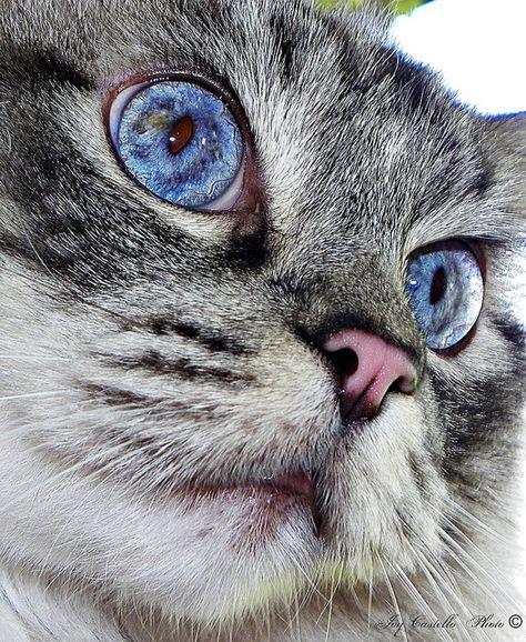 Ragdoll Cat: Buddy