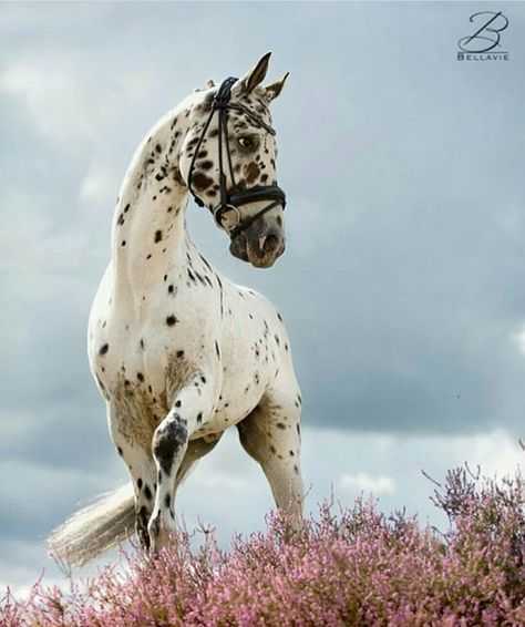Beautiful view of Appaloosa horse in a field of pink flowers! Pretty face and markings. Amazing horse photography.