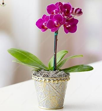 Brand Name Youpangpang Full Bloom Period Spring Type Succulent Plant Applicable Constellation Leo Phalaenopsis Orchid Flower Delivery Birthday Flower Delivery