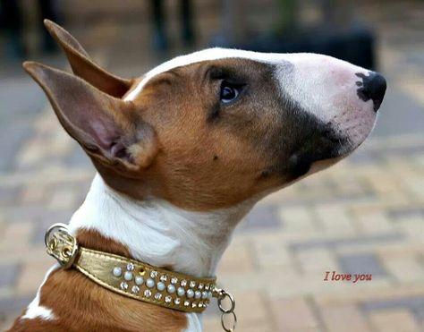 pretty #Bully #Dog