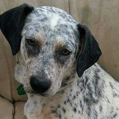 Denver Co Blue Heeler Meet Maci A Dog For Adoption Kitten Adoption Pets Blue Heeler