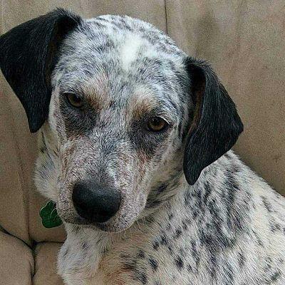 Denver Co Blue Heeler Meet Maci A Dog For Adoption Kitten Adoption Pets Blue Heeler